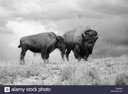 buffalo hunt america stock photos u0026 buffalo hunt america stock