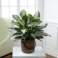 house plants low light great indoor plants evergreen house plants good indoor house plants