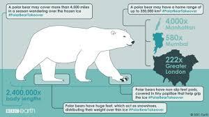 bbc earth polar bears have smelly feet