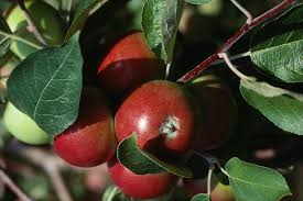 Best Fruit Tree For Backyard Apples How To Plant Grow And Harvest Apple Trees The Old