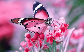 pink and black butterfly on flowers hd wallpapers rocks