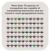 q how many species of mosquito can transmit heartworm