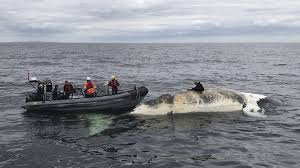 eighth north atlantic right whale found dead in gulf of st