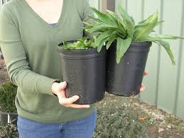how big will my plant be hertzler u0026 george