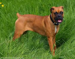 boxer boxer pictures and informations dog breeds com
