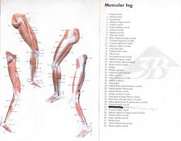 Anatomy And Physiology Labeling Muscle Anatomy Labeling Exercises Anatomy And Physiology Muscle