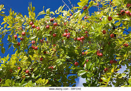 Ackee Fruit Tree - jamaican fruit stock photos u0026 jamaican fruit stock images alamy