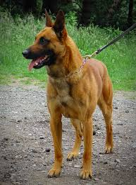 belgian shepherd vs doberman protection dog here u0027s what you need to know