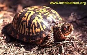 tortoise trust web avoiding problems with box turtles