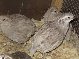 can someone please tell me what color bobwhite these are pics