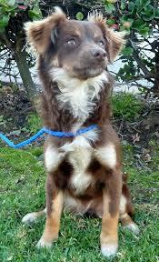 1 year old australian shepherd 1551541344 jpg