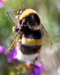 a huge bumblebee from spain bombus magnus u2013 ray cannon u0027s nature