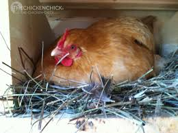 the chicken bators and broodies confessions of a hatch a