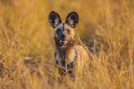safari ltd african wild dog tracking wild dogs in botswana s okavango delta national