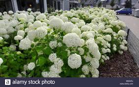 white hydrangeas garden hydrangea lace cap hydrangea hydrangea macrophylla