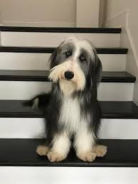 bearded collie adoption puppies from the wilsons