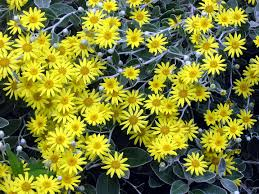 new zealand native plants list native new zealand pictures