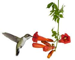 hummingbird flowers hummingbird plants