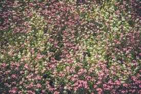 Pink Spring Flowering Shrubs - free images nature blossom white ground meadow flower