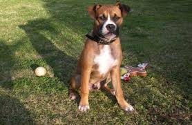 boxer dog mean 16 lovable bully dog breeds that you should get before you die
