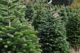 choosing a real christmas tree and christmas tree care david domoney