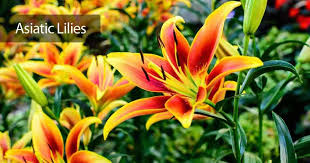 asian lilies asiatic how to care for asiatic lilies