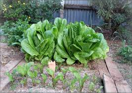 garden plans vegetables that grow square foot the old farmer s