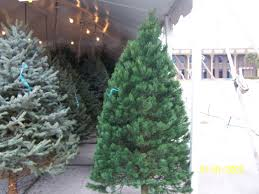 scotch pine christmas tree best selection of scotch pine christmas trees for sale in orlando fl
