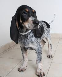 bluetick coonhound energy level d j d170709 secondhand hounds