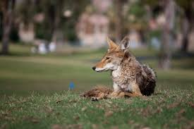 Coyote In My Backyard How To Keep Coyotes Foxes And Wolves Out Of Your Yard And