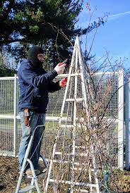 pruning and tying the roses in my garden the martha stewart blog