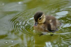 aix galericulata 003 duckling by sikaris on deviantart