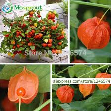 aliexpress buy ornamental fruit seeds physalis