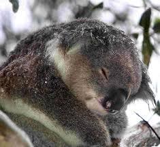 Angry Koala Meme - images of angry wet koala fan