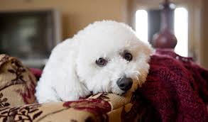 bichon frise breed standard bichon frise dog breed information