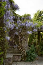 wisteria sinensis australian bush flower wisteria a field guide to planting care and design on gardenista