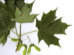 maple tree symbolism 9 best tree tapping images on pinterest cabins maple leaves and