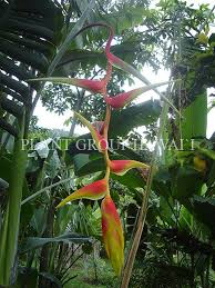Hawaii Plants 57 Best Heliconia U0027s Images On Pinterest Hawaii Tropical Plants