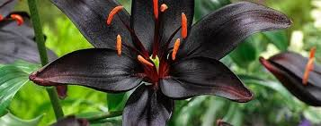 black flowers in india archives home decoration 17