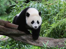 bao bao u s born panda lands in new home in china cbs news