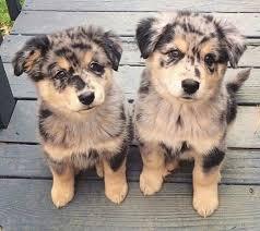 australian shepherd vs husky best 25 miniature dogs ideas on pinterest pet breeds miniature