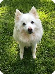american eskimo dog rescue illinois chester springs pa american eskimo dog mix meet wilfred a dog