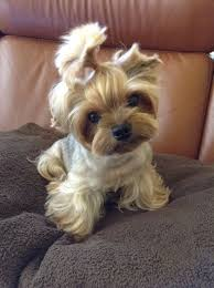 teacup yorkie haircuts pictures what s better than a bunch of adorable puppies doing the cutest