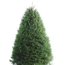 shop 5 6 ft fresh douglas fir tree at lowes