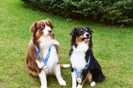 australian shepherd quirks blog gr dog adventures llc