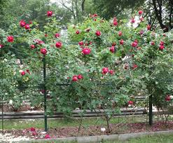 Patio Tree Roses by Bud Grafting Roses The Rose Journal