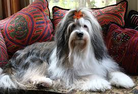 hair cuts for the tebelan terrier tibetan terrier facts pictures price and training dog breeds