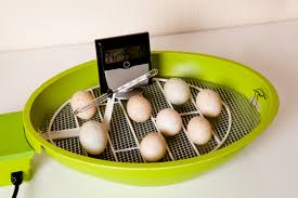 how to incubate chicken eggs modern farmer