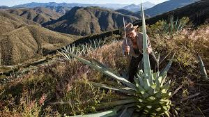 plants native to mexico punch how the mezcal boom is threatening wild agave