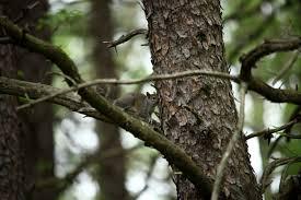 file squirrel hiding branch tree west virginia forestwander jpg